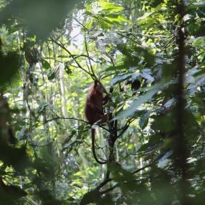A ritkán látható vörös majom