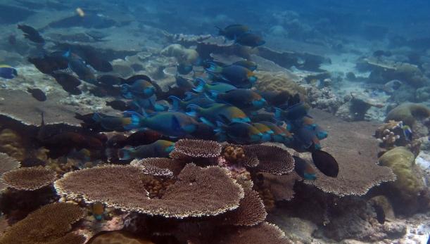 Megzavart papagájhal-raj